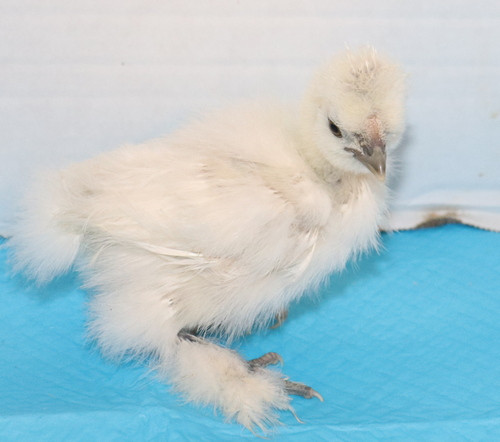 Wing Band 3459 [White] DNA Sexed Female Bearded Bantam Silkie Chick