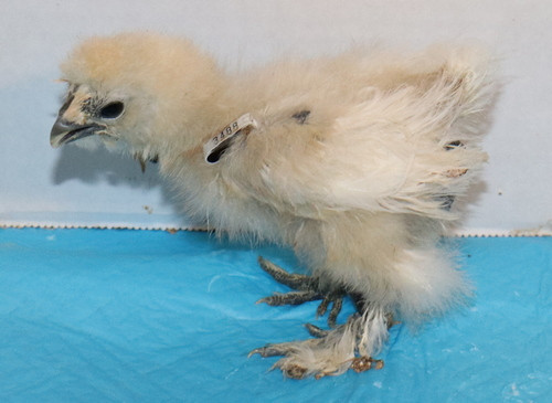 Wing Band 3488 [White] DNA Sexed Bearded Bantam Silkie Chick