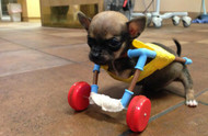 This two-legged chihuahua with toy wheels may be the most adorable dog ever!