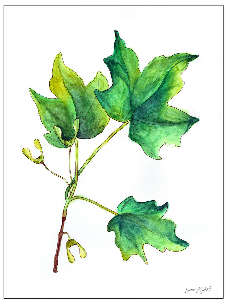 West Virginia Botanicals Watercolor Sugar Maple Leaves Fine Art Print. Plain Paper, Laminated, or Framed. Multiple Sizes Available.
