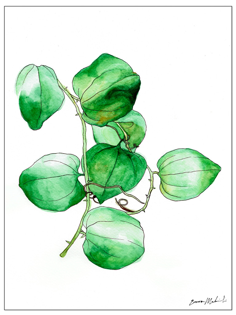 West Virginia Botanicals Watercolor Greenbrier Leaves Fine Art Print. Plain Paper, Laminated, or Framed. Multiple Sizes Available.
