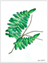 West Virginia Botanicals Watercolor Fern Leaves Set Fine Art Prints. Plain Paper, Laminated, or Framed. Multiple Sizes Available.