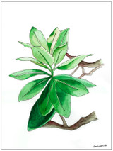 West Virginia Botanicals Watercolor Rhododendron Leaves Set Fine Art Prints. Plain Paper, Laminated, or Framed. Multiple Sizes Available.