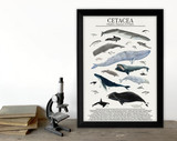Order Cetacea - Whales, Dolphins and More - Science Classroom Poster. Fine Art Paper, Laminated, or Framed. Multiple Sizes Available