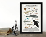 Class Chondrichthyes - Sharks, Rays, and More - Science Classroom Poster. Fine Art Paper, Laminated, or Framed. Multiple Sizes Available
