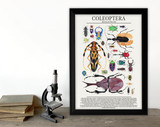 Order Coleoptera - Beetles and More -  Science Classroom Poster. Fine Art Paper, Laminated, or Framed. Multiple Sizes Available