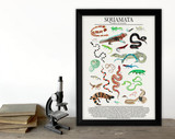 Order Squamata - Snakes, Lizards, and More -  Science Classroom Poster. Fine Art Paper, Laminated, or Framed. Multiple Sizes Available