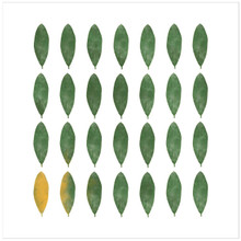 Rhododendron Leaves - West Virginia State Flower - Fine Paper Print, Laminated, or Framed. Multiple Sizes Available for Nursery, Office, Classroom, or Home