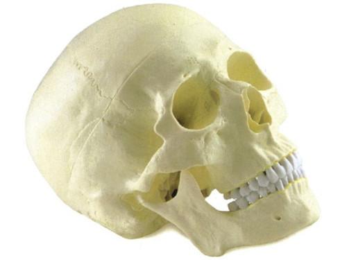 Skull Model AR-11110  ARI