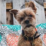 16 year old Yorkshire Terrier