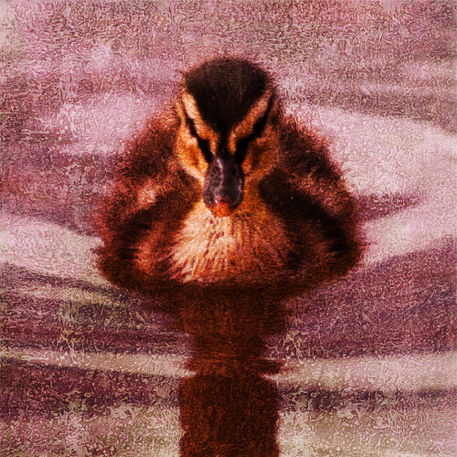 Bird,Duck,Waterfowl,aquatic birds