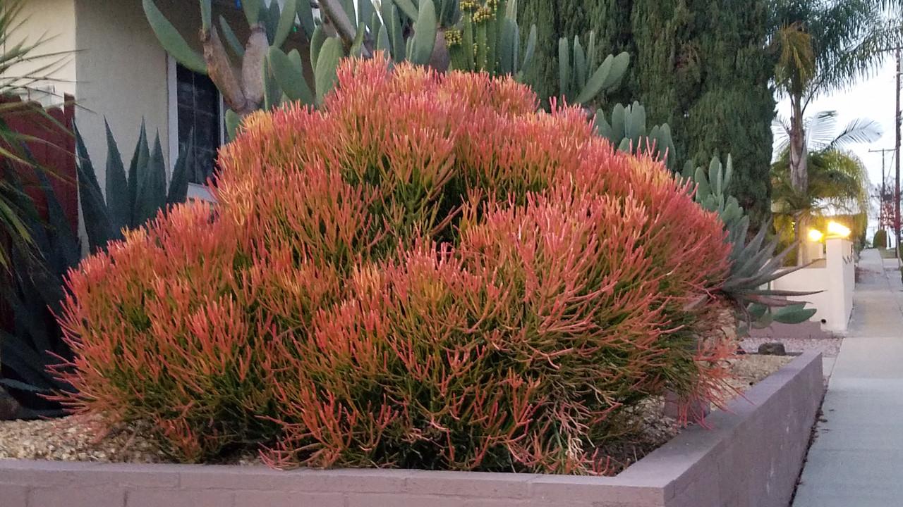 Euphorbia Tirucalli Sticks On Fire Firestick Plant Red Pencil
