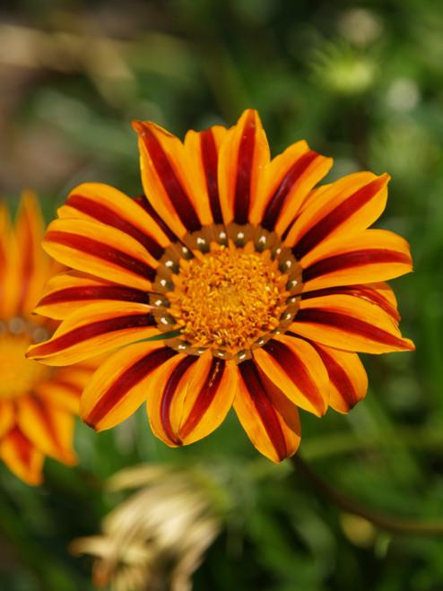 "Gazania Sunbathers® Tikal 4"""