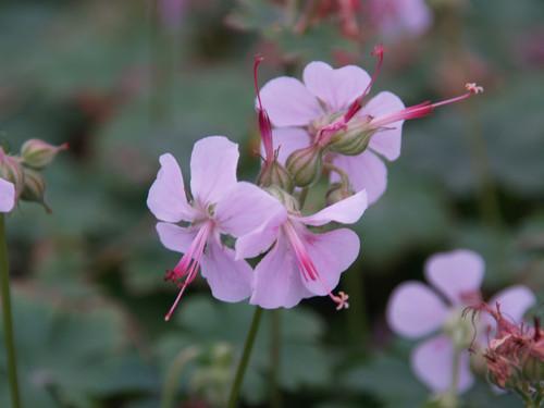 Geranium cantabrigiense 'Biokovo' 1g