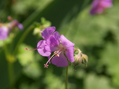 Geranium c. 'Cambridge' 1g
