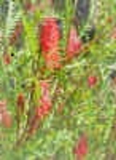 Grevillea 'Ivanhoe' 24B