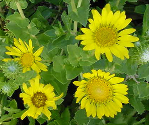 Grindelia stricta ssp. venulosa 1g