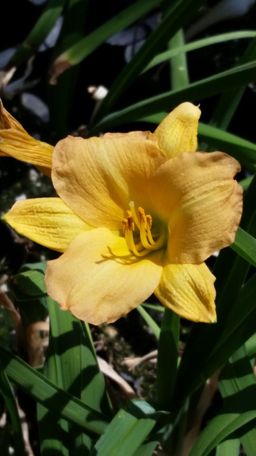 Hemerocallis 'Butterscotch Ruffles' 1g