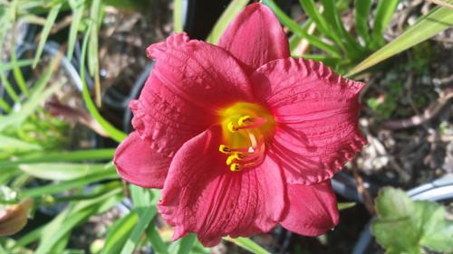 Hemerocallis 'Cranberry Baby' 1g