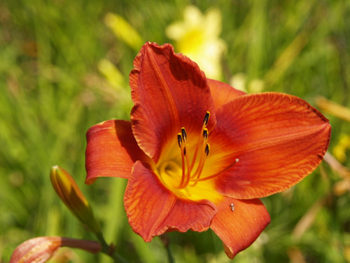 Hemerocallis hybrids 'Mixed Colors' 1g
