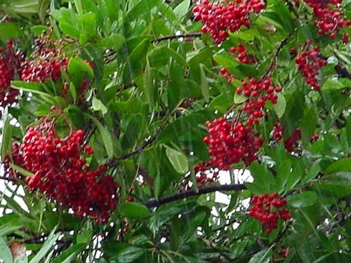 Heteromeles arbutifolia 15g