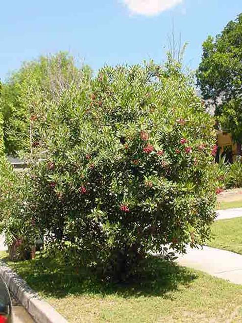 Heteromeles arbutifolia 1g