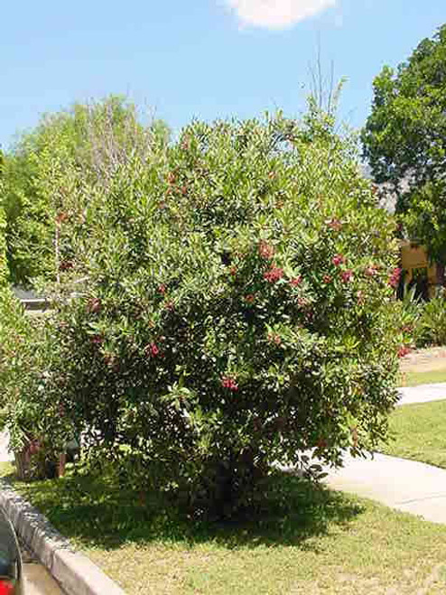 Heteromeles arbutifolia 5g