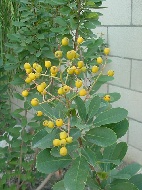 Heteromeles arbutifolia 'Davis Gold' 5g
