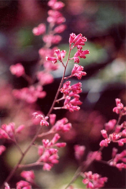 Heuchera 'Canyon Chimes' (Patented SBBG) 1g