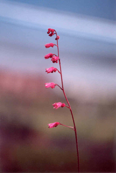 Heuchera 'Canyon Pink' 1g