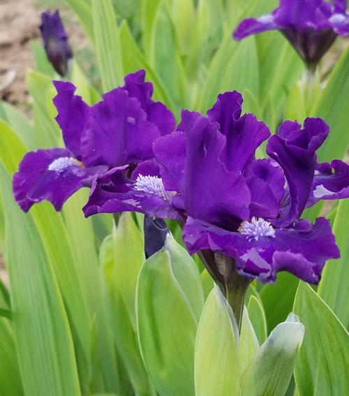 Iris g. 'Neutron' 1g