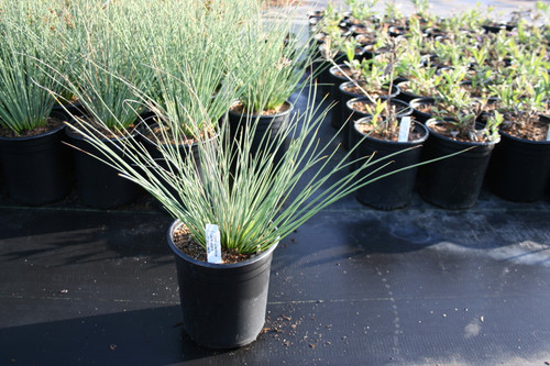 Juncus 'Occidental Blue' 1g