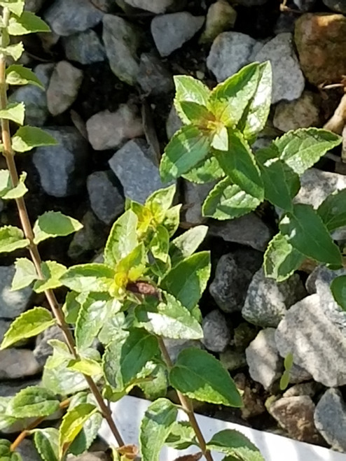 Keckiella cordifolia 1g