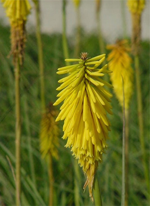 Kniphofia uvaria 'Malibu Yellow' 1g