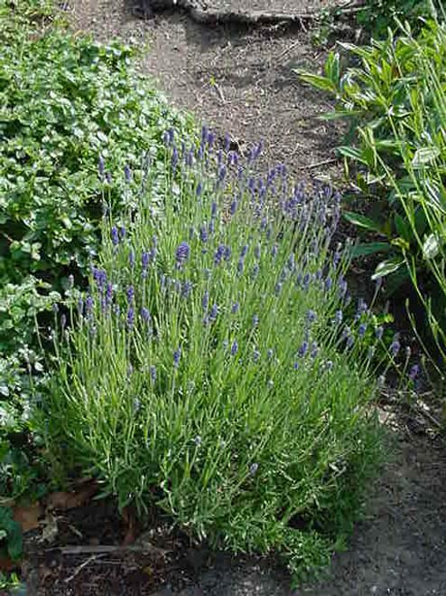 Lavandula angustifolia 'Munstead' 1g