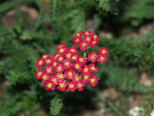 "Achillea millefolium 'Paprika' 4"""