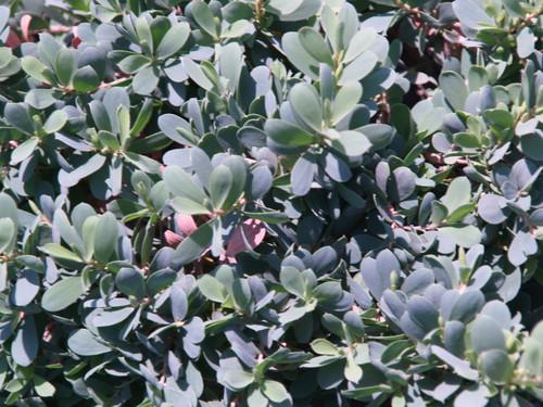 Leptospermum l. 'Reevesii' 1g