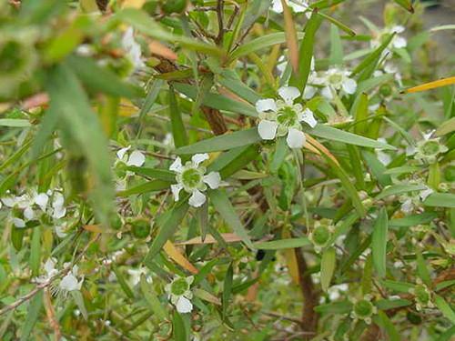 Leptospermum petersonii 15g