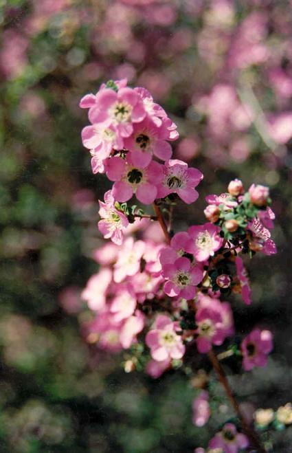 Leptospermum rotundifolium 1g