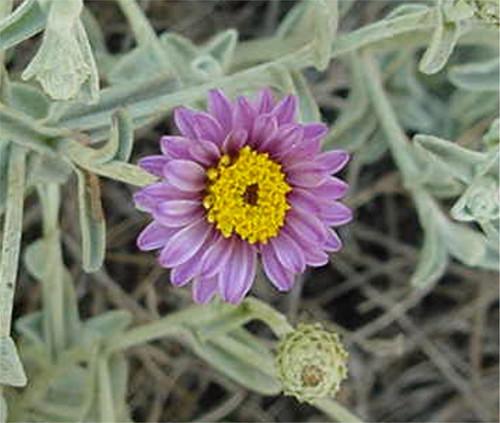Lessingia filaginifolia 'Silver Carpet' 1g