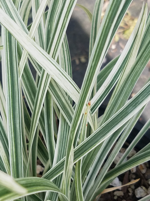 Liriope spicata 'Silver Dragon' 1g