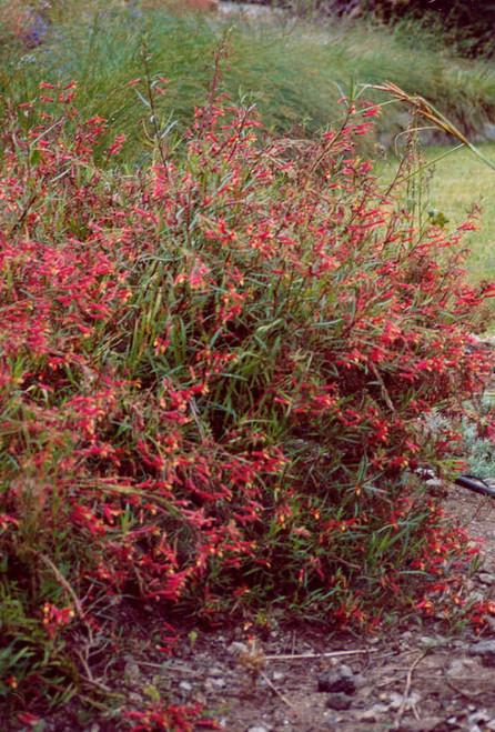 Lobelia laxiflora 1g