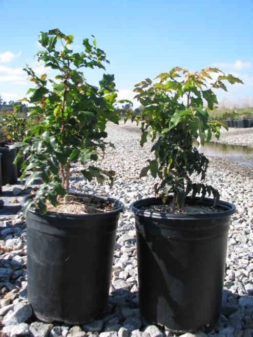 Mahonia aquifolium (Berberis) 1g