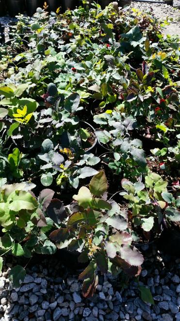 Mahonia repens (Berberis) 1g