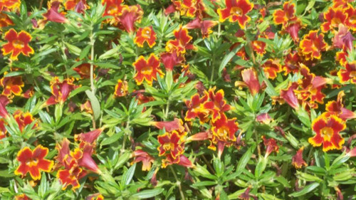 Mimulus Jelly Beans™ 'Fiesta Marigold' (Diplacus) 1g