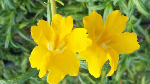 Mimulus 'Jelly Bean Gold' PPAF  (Diplacus) 1g