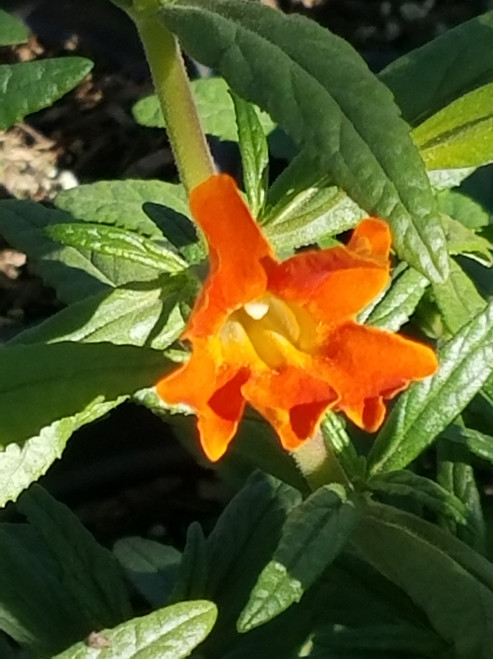 Mimulus 'Jelly Bean Orange' PPAF (Diplacus) 1g