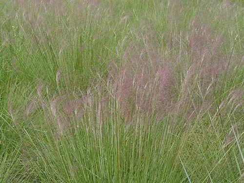 Muhlenbergia capillaris 1g