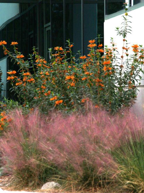 Muhlenbergia capillaris Regal Mist® 'Lenca' 1g