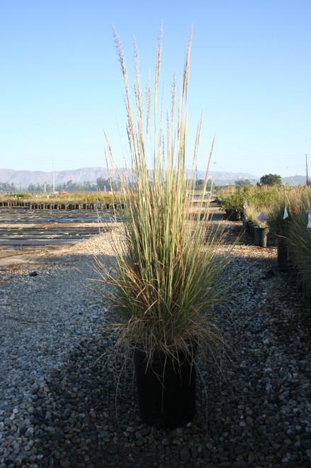 Muhlenbergia lindheimeri 5g